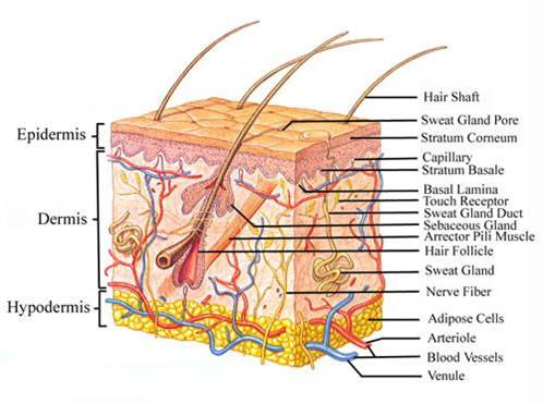 dog body diagram dermatology diagram of dog body sensitive skin