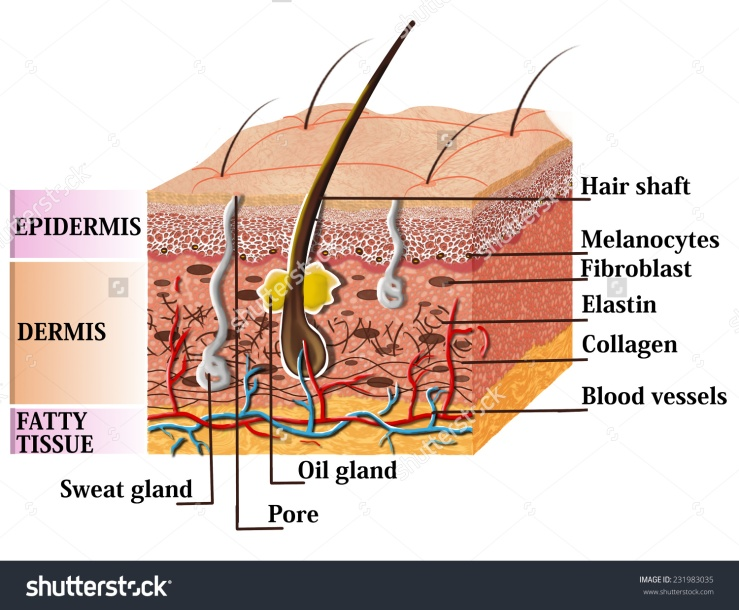 stock-photo-skin-anatomy-diagram-with-description-illustration-of-skin-cross-section-231983035