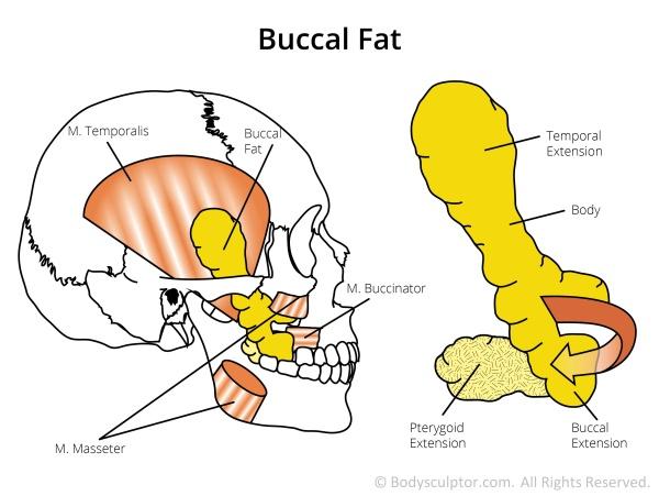 buccal fat
